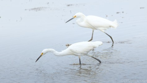 Snowy Egrets Fishing