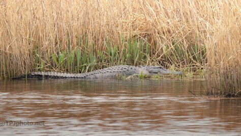 Passing By, He Was Just There, Alligator
