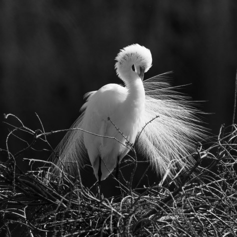 Egret Breeding Feathers.