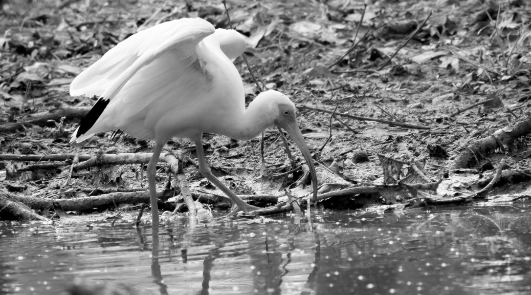 Ibis, Monochrome