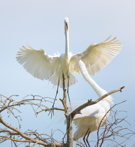 An Egret Greeting
