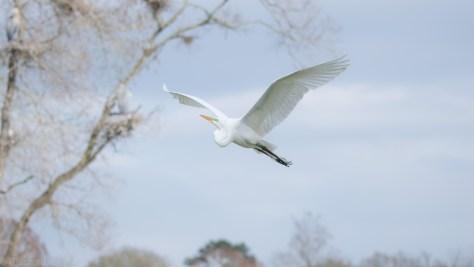 Egret - Rookery