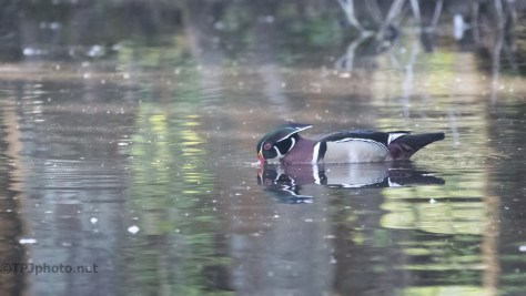 Wood Duck In A Swamp Pond