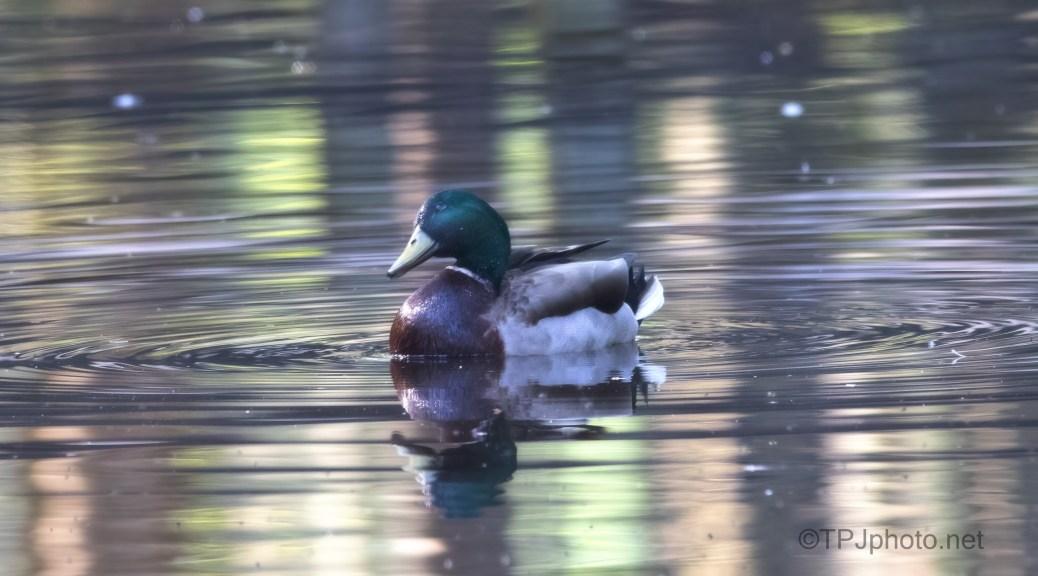 Reflections, Mallard And Wood Duck