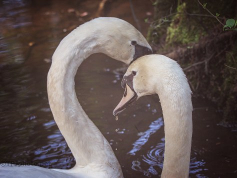 Swans Like Each Other