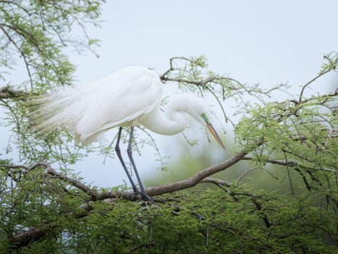 A Few Portraits, Egret