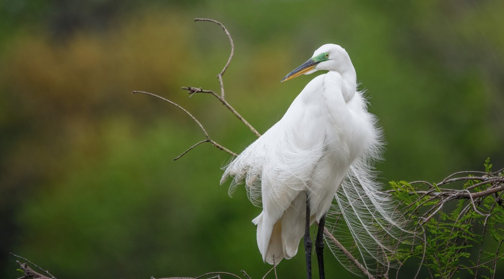 A Pose, Great Egret