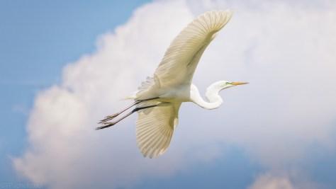 Blue Sky Egrets