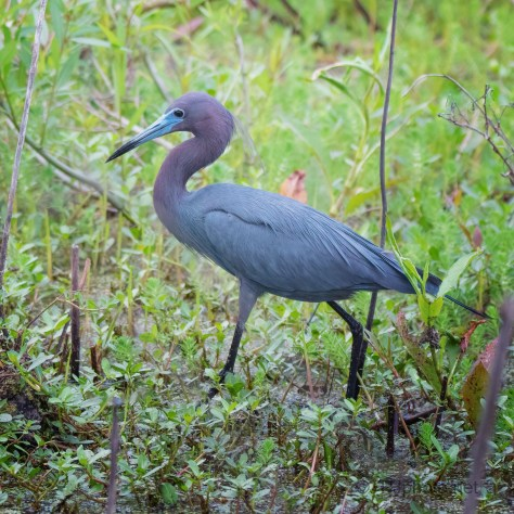 Iridescent This Time Of Year, Little Blue Heron