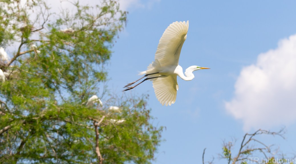 Great Egret, In A Rookery