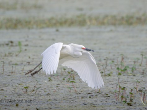 Snowy Egret Working Low Water