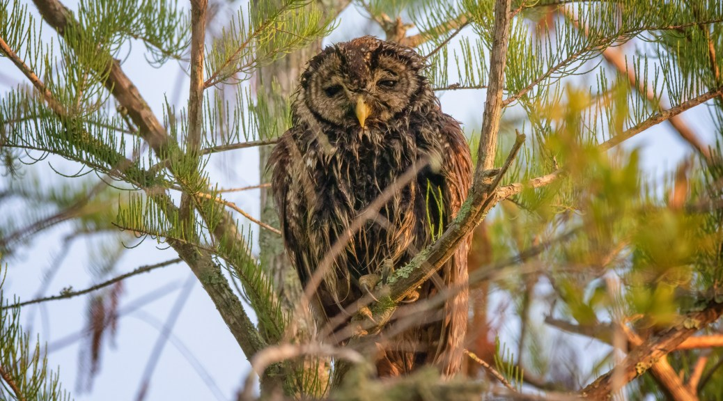 Cold, Wet, Barred Owl