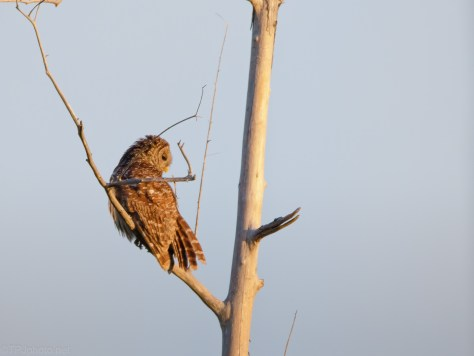 Early Morning Out In The Open, Owl