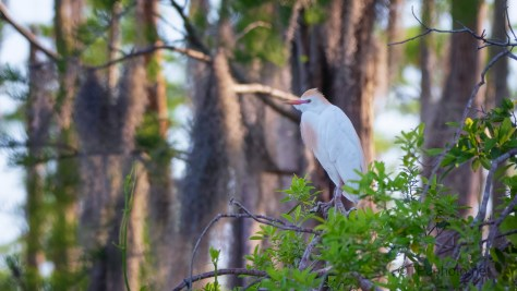 Watching As We Go By, Egret (2)