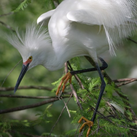 Sneaking Through The Brush, Snowy Egret