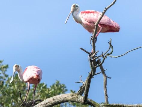Spoonbills