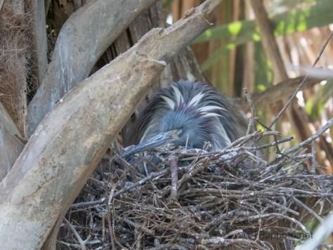 Tricolored Heron Nest In A Palmetto