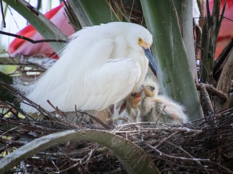Family Portrait, Snowy Egret
