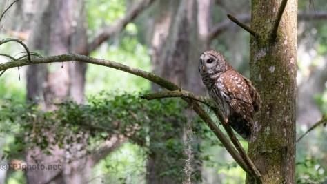 In Flight, Barred Owl