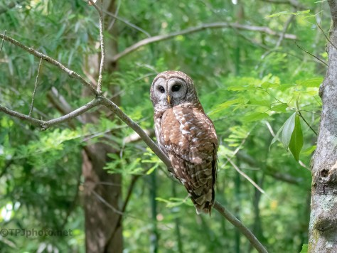 Typical 'Watching' Owl