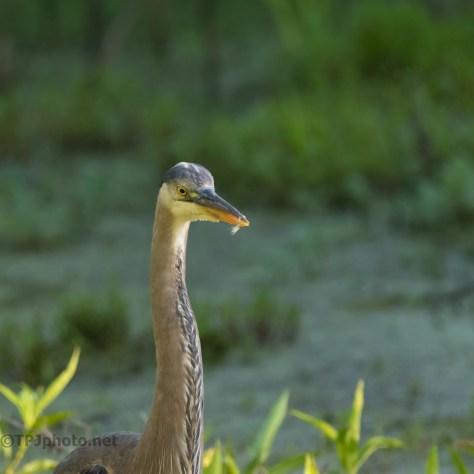 Exploring, Young Heron