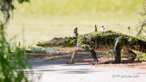 Sometimes It's Where You Were, Alligator