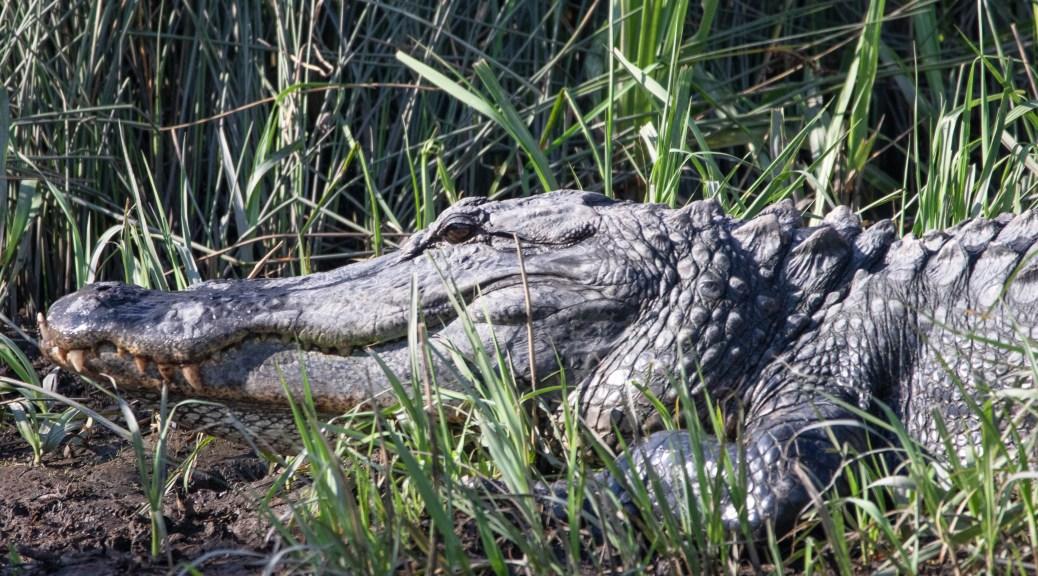 Big Head, Alligator