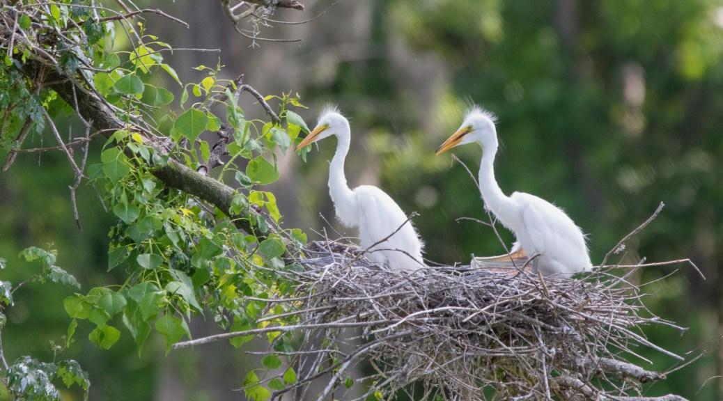 Teenagers, Great Egrets