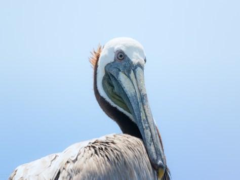 Portraits, Brown Pelican