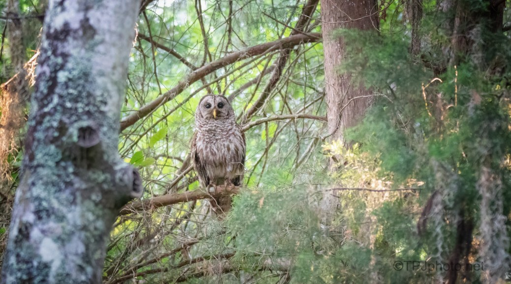 Being Watched, Barred Owl