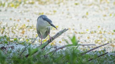 Night Heron, Waters Edge