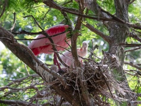 Spoonbill Chicks In A Nest