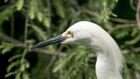 A Snowy Egret Portrait