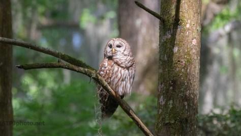 Getting Morning Sun, Barred Owl