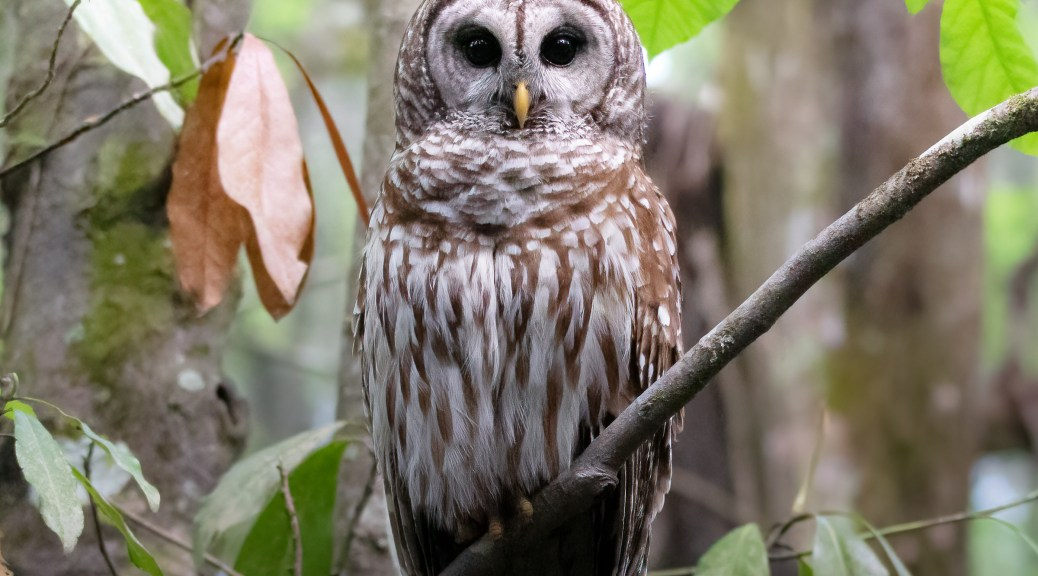 Who Blinks First... Owl