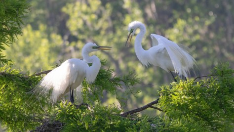 Egrets Still Playing House