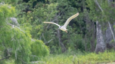 Night Heron Fly By