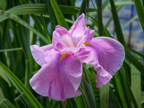 Lily, Softer Colors
