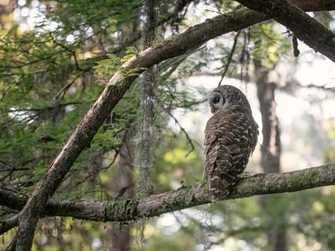 Barred Owl Hunting