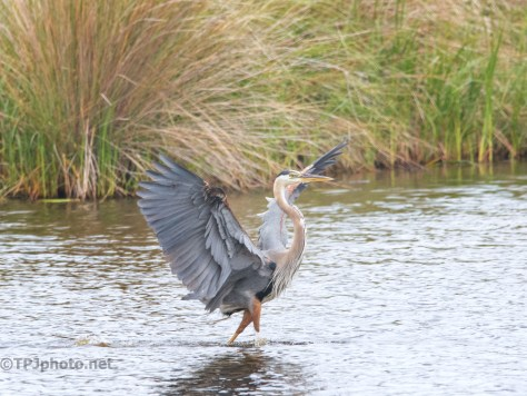 Great Blue Putting On The Brakes