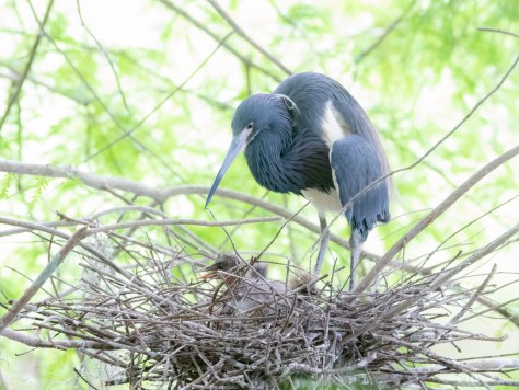 Tricolored Heron Watching Over Young