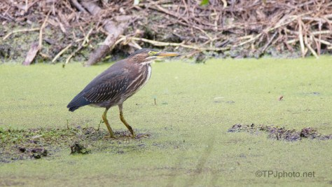 Green Heron, About Time