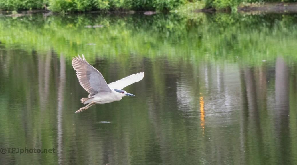 Speedy Fly By, Night Heron