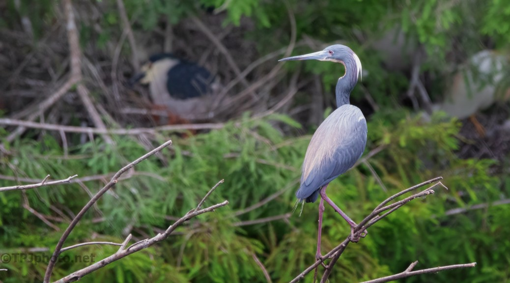Tricolored In A Rookery