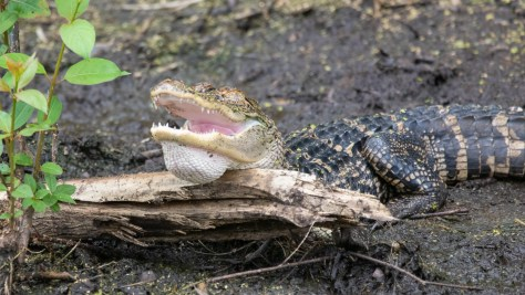 Hot Alligator