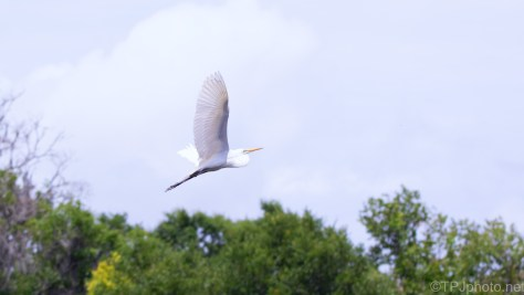 Great Egret Moving Off Rookery
