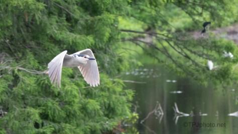 Night Heron, In Flight