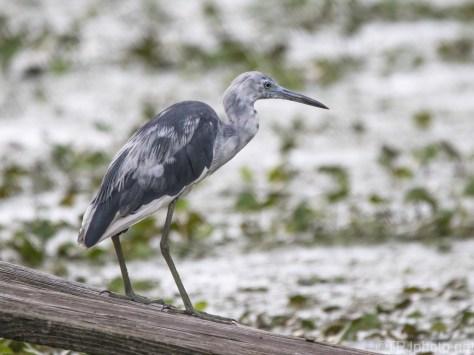 Scraggily Little Blue Heron