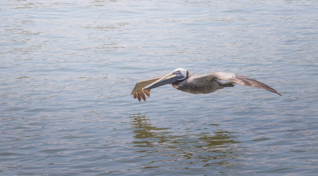 The Glide By, Brown Pelican