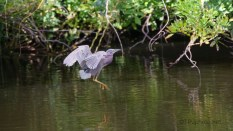 Short And Fast, Green Heron